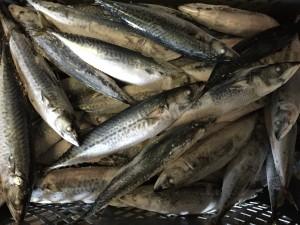 Chub mackerel 4 ppkg Jul/15